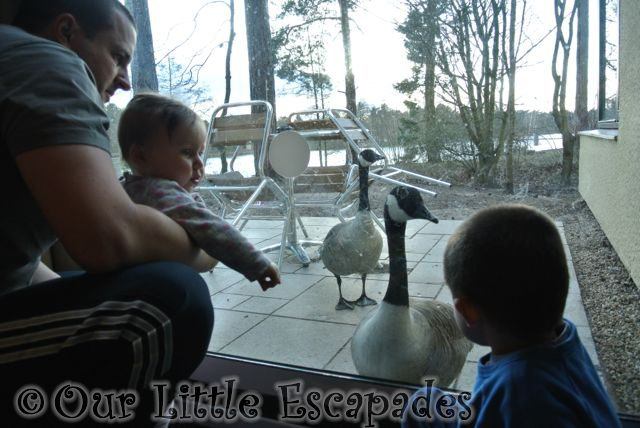 darren ethan little e looking ducks elveden forest center parcs
