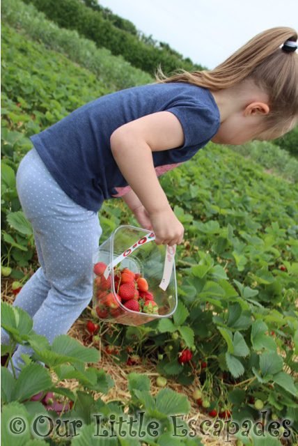 strawberry picking mclauchlans boxted