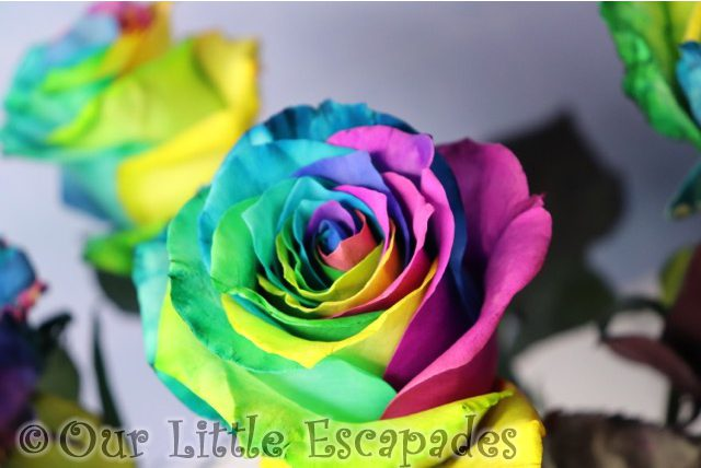 rainbow roses blossoming gifts valentines day gift ideas