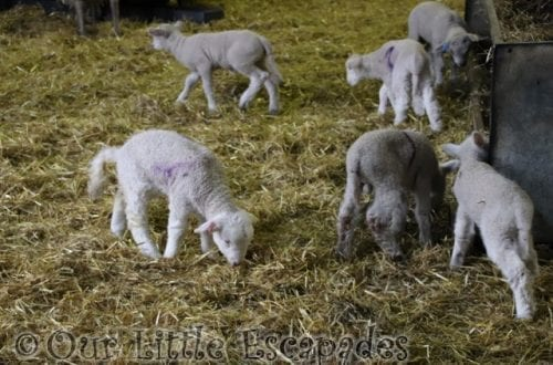 Visiting Barleylands Farm Park During Lambing Week