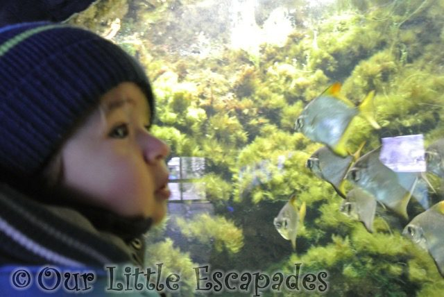 ethan watching angel fish visiting colchester zoo