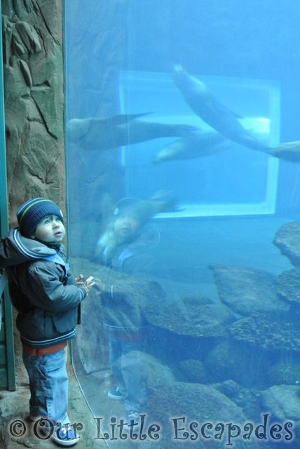 ethan watching four swimming sealions visiting colchester zoo