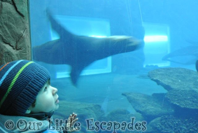 ethan watching swimming sealion visiting colchester zoo