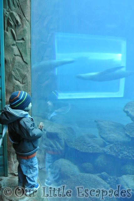 ethan watching swimming sealions visiting colchester zoo