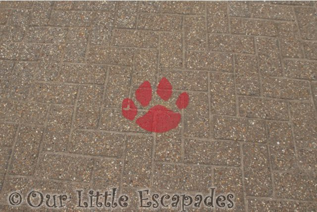 red paw print marker social distance route social distancing at colchester zoo