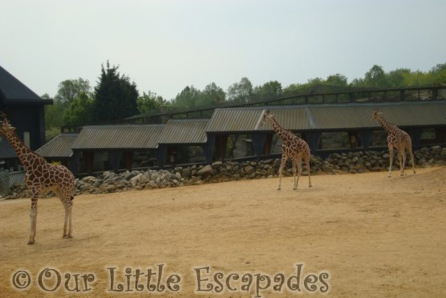three giraffes walking colchester zoo first birthday treat