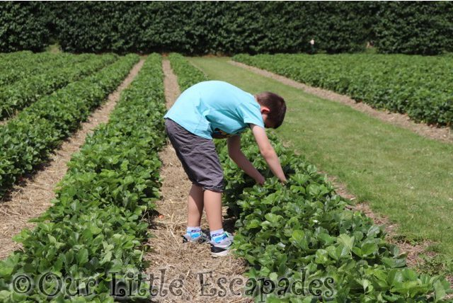 ethan looking for strawberries socially distanced strawberry picking