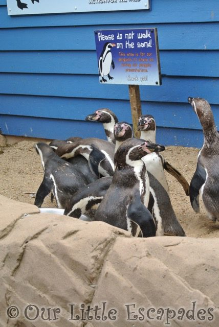 humboldt penguins penguin shores colchester zoo ethans first colchester zoo gold pass