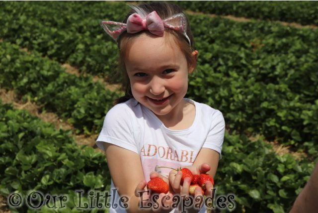 little e holding strawberries socially distanced strawberry picking